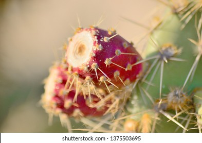 Cactus from the family of perennial flowering plants of the order of clove-flowered.Flowers, buds, fruits of cactus.Cactaceae.Peyote