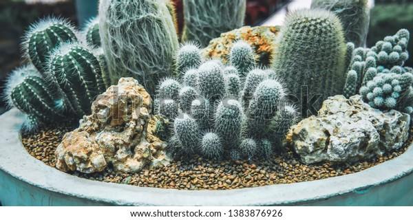 Cactus Family Plants Potmini Cactus Garden Stock Photo Edit Now
