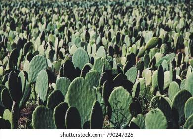 Cactus farm background