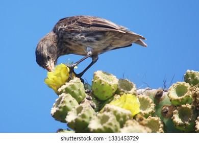 Cactus finch feeding in Galapagos islands