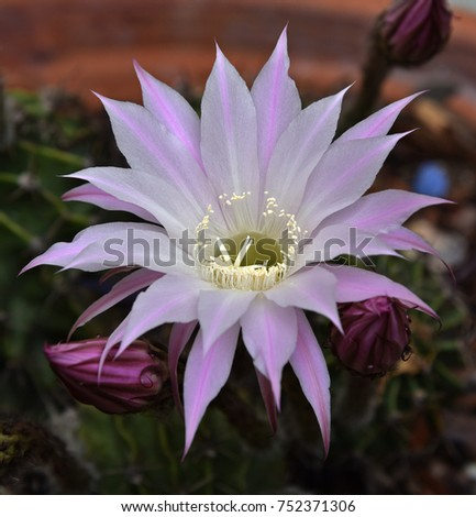 Cactus Flower Anatomy Has Received Little Stock Photo (Edit Now ...