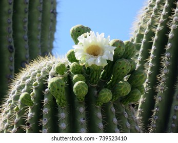 Cactus Flower and bulbs, Sabino Canyon, Arizona