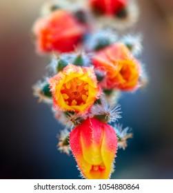 Cactus flower close-up