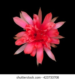 Cactus flower isolated on black background