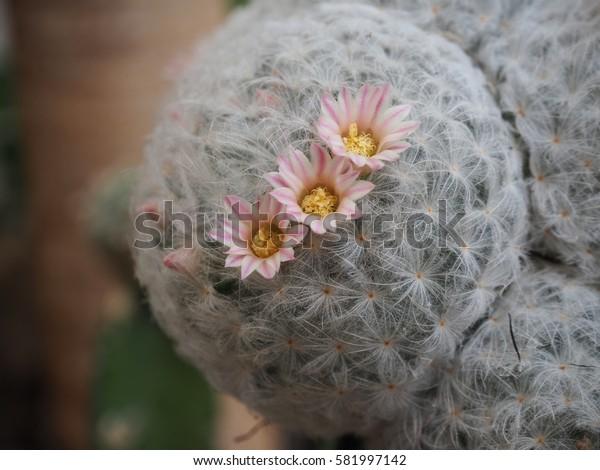 Cactus flower (Mammillaria Plumosa)
