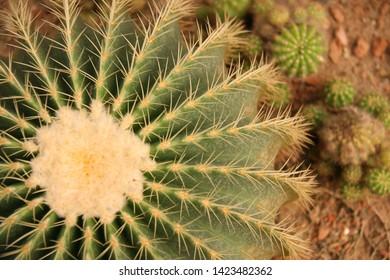 Cactus flower plant sand green