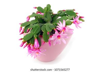 cactus flower pot Hatiora Gaertneri