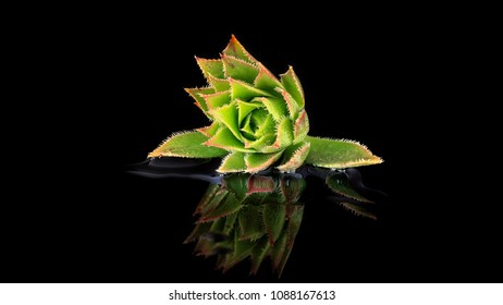 Cactus flower reflection