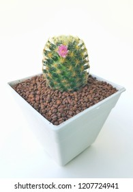 Cactus flower in white pot isolated on white background