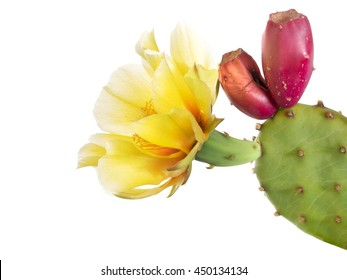 Cactus flower with young fruit, Indian fig. Isolated  on white. Opuntia ficus indica.
