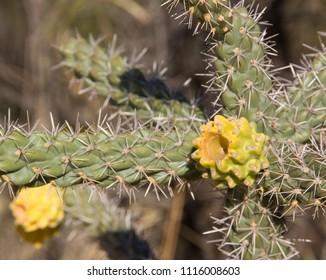 Cactus in flowers - Park Saguaro, near Tucson in Arizona -  USA