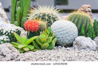 Cactus flowers and succulent flower group in pot garden concept ,colorful background,cute desert tropical plant Gymnocalycium,Chin cactus,Mammillaria plumosa,Cereus peruvianus,Mammillaria scrippsiana