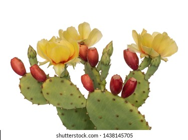 Cactus flowers and young fruit, Indian fig. Isolated on white. Opuntia ficus indica.