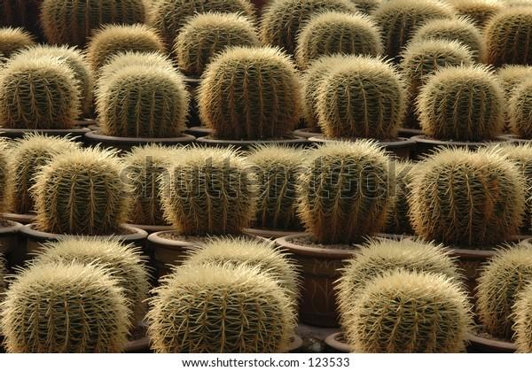 Cactus at Cactus Garden, Cameron Highland, Malaysia