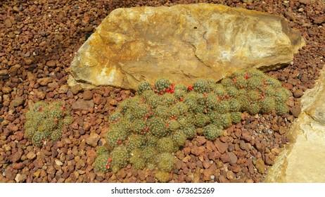 Cactus in garden. Cactus landscape