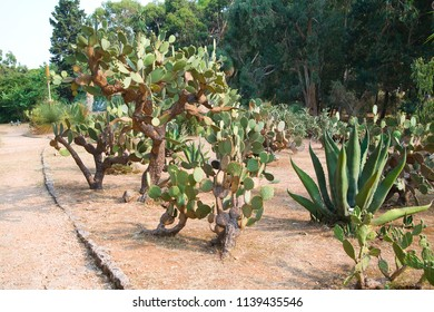 cactus garden - Lokrum island in Croatia