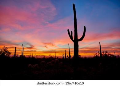 Cactus giant saguaro with a sunset