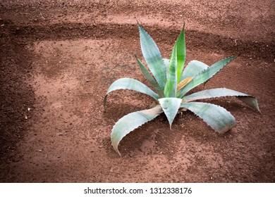 Cactus growing in dark soil in Morocco