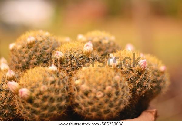 Cactus growing in pots background blur.