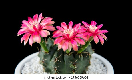 Cactus Gymnocalycium baldianum with opening three pink blossoms in white pot against black background. Copy space - Shutterstock ID 1956039604