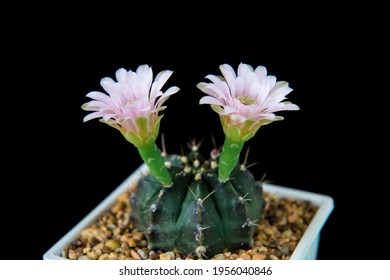 Cactus Gymnocalycium mihanovichii with opening two pink blossoms against black background. Copy space - Shutterstock ID 1956040846