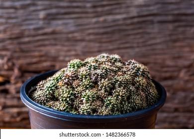 cactus gymnocalycium on wooden  background