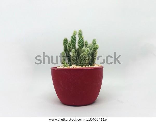 Cactus isolated on white background.
