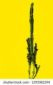Cactus isolated on yellow background