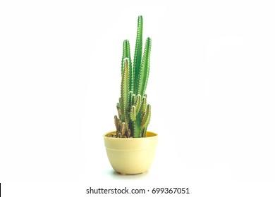 Cactus isolated white background