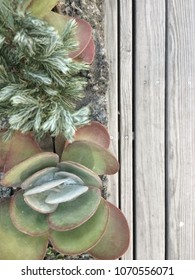 Cactus : Kalanchoe thyrsiflora (Paddie Plant, Flapjacks, Desert Cabbage) on the wooden floor