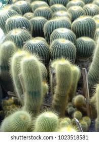 Cactus in Kalimpong