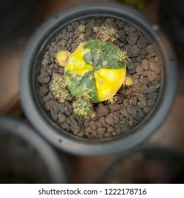Cactus - Lophophora williamsii - or Peyote with yellow and green colour