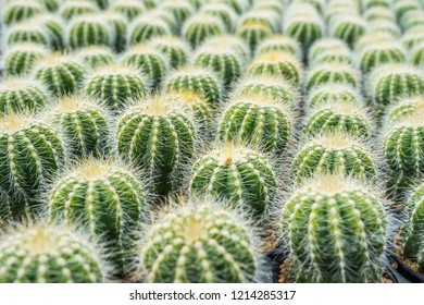 Cactus many variants in the pot for planting arranged in rows select and soft focus. Cactus background and texture or copy space.