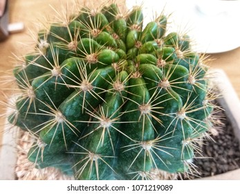 Cactus in mini pot Echinopsis calochlora species