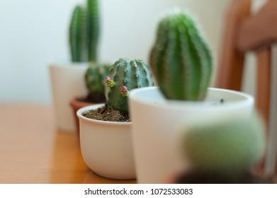 Cactus mini in a row