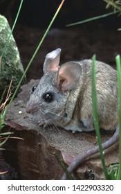 Cactus Mouse (Peromyscus Eremicus) wildlife