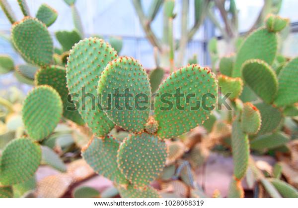 Cactus Name Opuntia Beautiful Maxico Desert Stock Photo Edit Now 1028088319