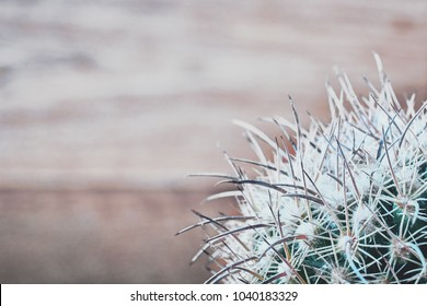 Cactus needles on blurred wooden background, top view. Blue-green cactus with white-grey long needles. Close-up. Copy space.