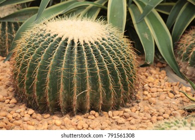 Cactus in Northeast  of Thailand  close up