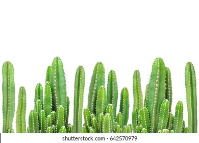 Cactus on isolated background.
