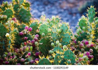 cactus Opuntia with flowers, closeup view