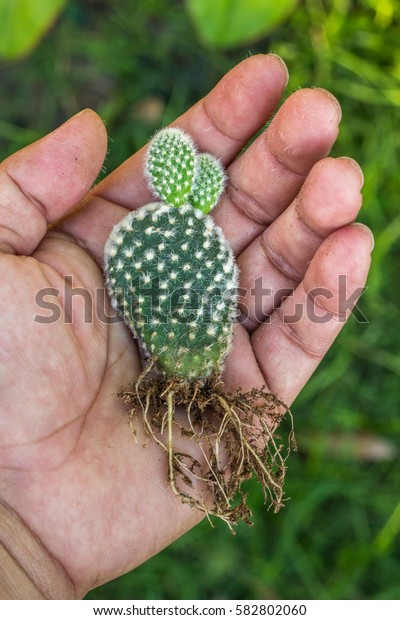 the cactus: opuntia microdasys in the hand