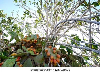 Cactus - opuntia - sabres or Tzabar Israeli symbol