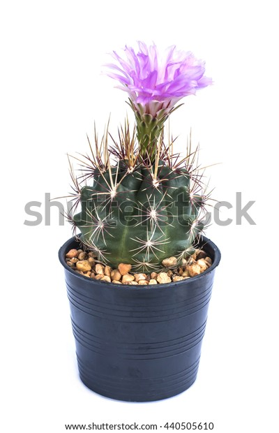 Cactus pink flower on white background