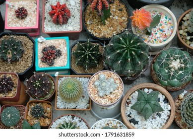 Cactus plant beautiful for decoration intreior and exterior garden,Idea for home decorate