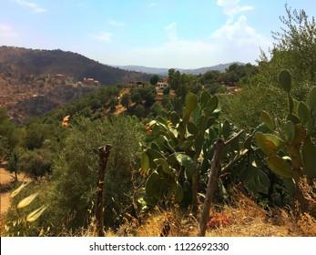 Cactus plant with fruits on it at Tizi Ouzou, Algeria.