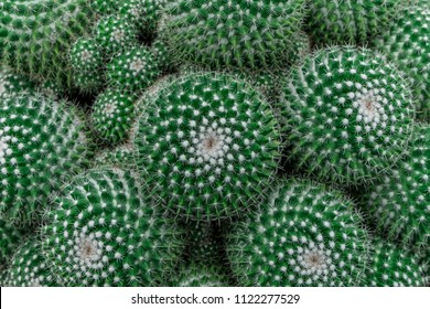 Cactus plant leaves pattern. Green leaves. Natural background. green leaf texture background.