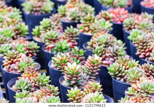 Cactus plant nurseries. The cactus was planted in small pot for easy to sale.