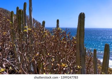 cactus plant on the coast of tenerife
