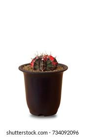 Cactus plant on white background, Isolated.